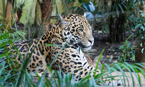 Jaguar_Blog_Size